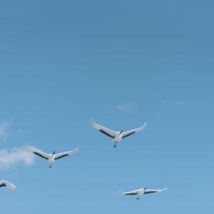 Cranes flying overhead.
