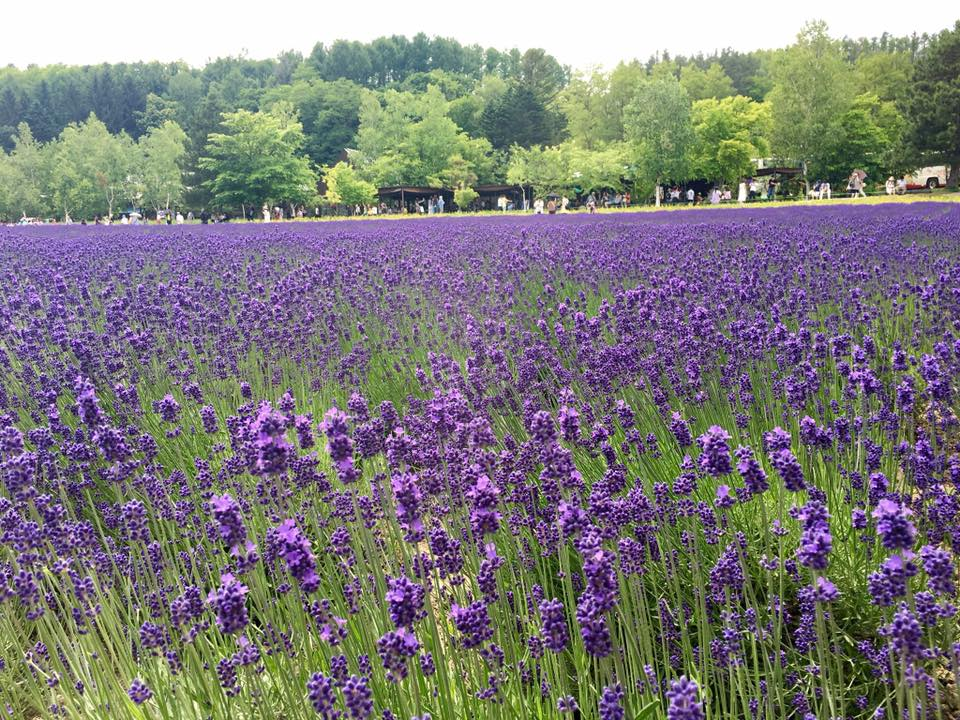 Fields and fields of lavender!