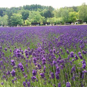 furano lavender