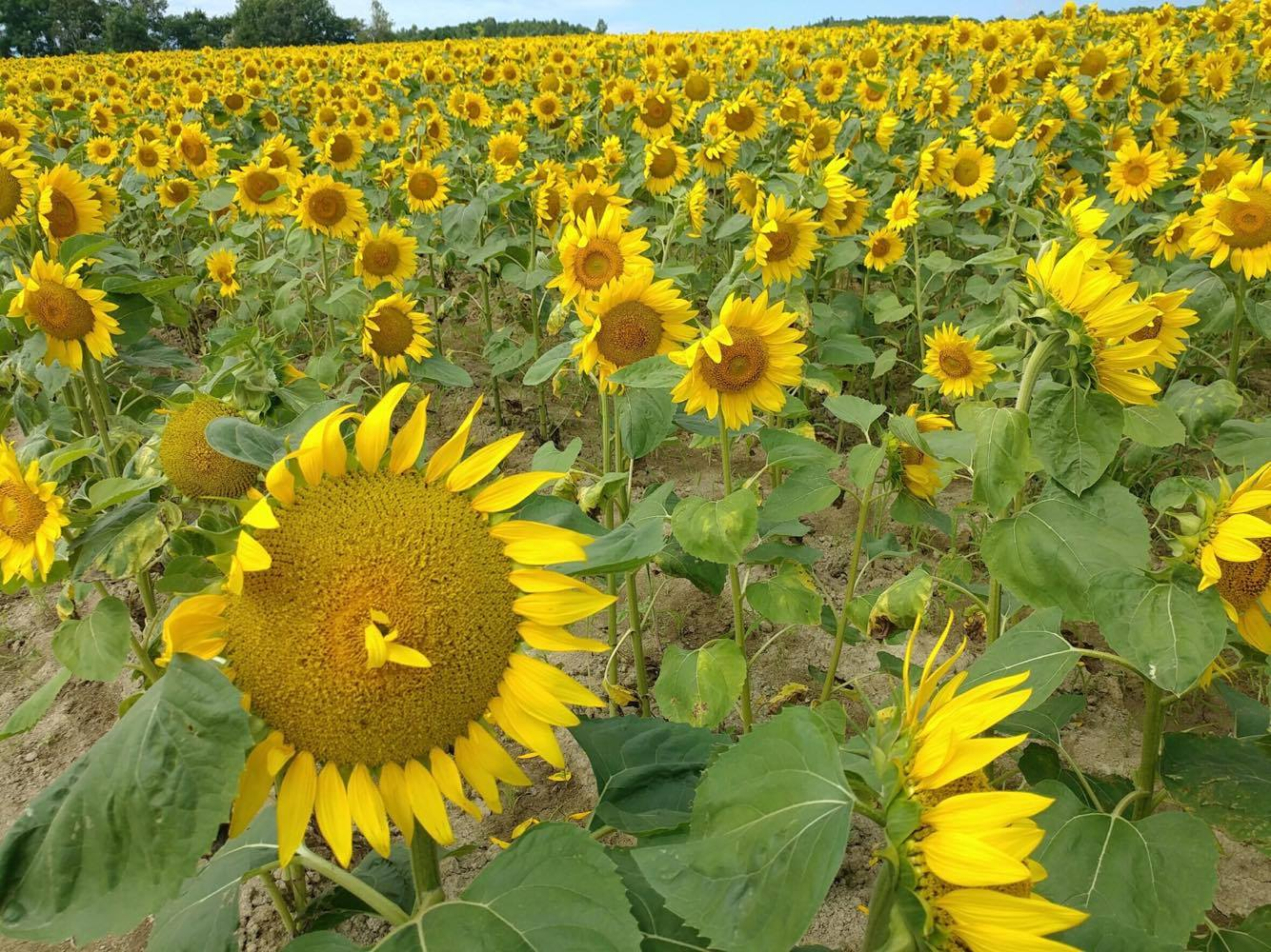 Sunflowers as far as you can see in Hokkaido!